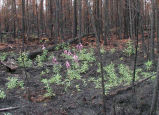 Fireweed grows in burned area