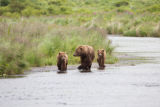 Kodiak brown bear with cubs