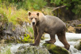 Kodiak brown bear on the falls