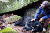Biologist looking at tagged black bear