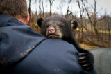 Black bear cub holding tight