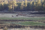 r2-tx-brr-elk feeding in burn area