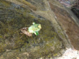 Adult Cicada emerging from exoskeleton