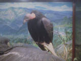 Taxidermy specimen of a California condor