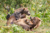 Kodiak brown bears playing