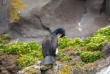 Red-faced cormorant perched on rock ledge