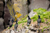 Several red-faced cormorants on rock ledge