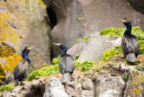 Red-faced cormorants perched on rocks
