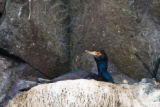 Red-faced cormorant on nest.