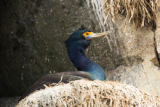 Red-faced cormorant on nest
