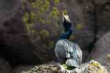 Red-faced cormorant
