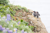 Pair of parakeet auklets perched on rock ledge