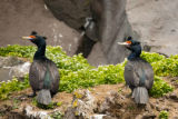 Two Red-faced cormorants