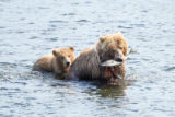 Kodiak brown bear family follow the leader