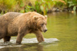 Kodiak brown bear