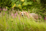 Kodiak brown bear behind wildflowers