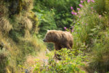 Adult Kodiak brown bear