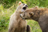 Kodiak brown bears with mouth open