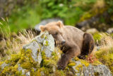 Kodiak brown bear resting on mossy rocks