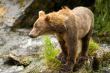 Kodiak brown bear standing on rocks