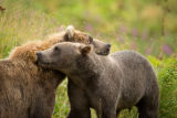 Kodiak brown bear with cub