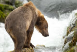 Kodiak brown bear in the falls