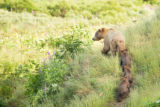 Kodiak brown bear and three cubs play follow the leader