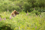 Kodiak brown bear peaking out of a field of wildflowers