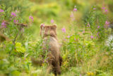 Kodiak brown bear backside