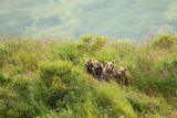 Scenic of Kodiak brown bear with cubs
