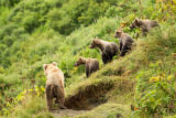 Kodiak bear family on a hill