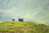 Scenic of Kodiak brown bears
