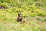 Kodiak brown bear sitting up