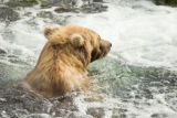 Kodiak brown bear swims with his head above water
