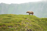 Kodiak brown bear in a scenic landscape