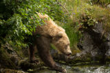 Kodiak brown bear walking on mossy rocks