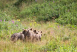 Kodiak brown bear cubs walking together in a colorful tundra