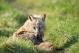 Red fox lying in the grass