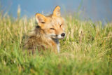 Red fox close-up lying in the grass
