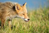 Red fox with it's tongue out