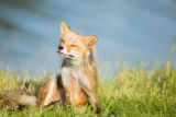 Red fox sitting in the grass