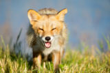 Red fox with it's mouth open