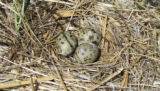 Common tern nest