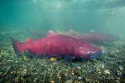 Chinook salmon migrating