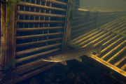 Northern Pike swims near fish weir