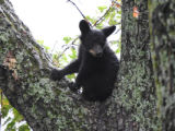 American Black Bear cub in a tree