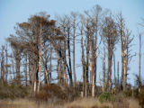 Forest of trees weakened by a tropical storm and Southern Pine Beetles