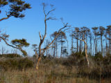 Trees weakened by a tropical storm and Southern Pine Beetles