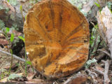 Close-up of tree rings showing affects from Southern Pine Beetles