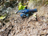 Blue crayfish